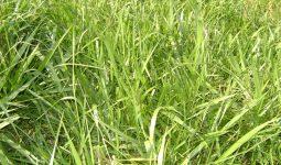 Brachiaria brizantha cv. MG.4