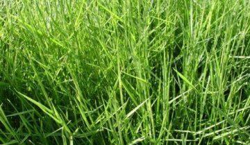 Brachiaria humidícola cv. Humidícola