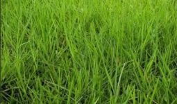 Brachiaria humidícola cv. Llanero